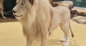 Крымские белые львы перебрались в зоопарк Казани(фото)