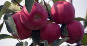 Андрей Рюмшин: Крымские аграрии завершили сбор урожая яблок