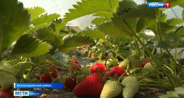 Клубнику по итальянским технологиям выращивают в Крыму