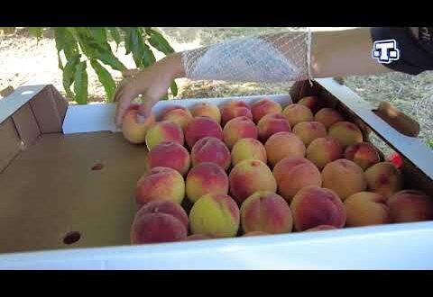 В Крыму стартовал сбор урожая персиков