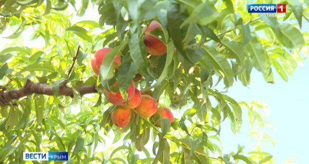 Урожай персиков собирают в Крыму