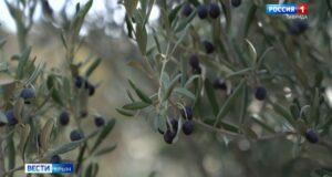 Крымские оливки будут бороться за звание «Вкус России»