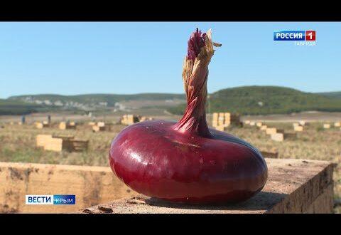 Уникальный лук выращивают в Крыму
