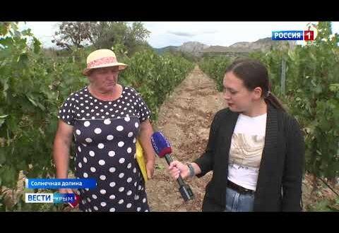 Аграрии Крыма ускорили темпы сбора винограда
