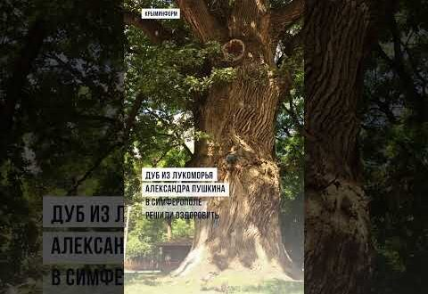 Вековой дуб из Лукоморья Пушкина хотят оздоровить