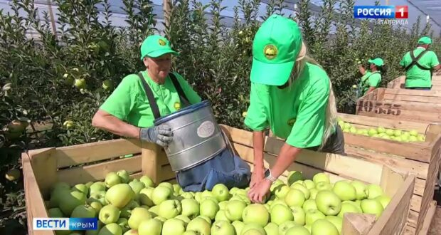В Крыму собрали 40000 тонн яблок