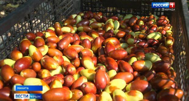 Первый урожай экзотического фрукта собирают в Крыму